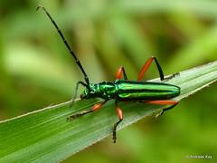 Longhorn Beetle, Mionochroma wilkei? Cerambycidae (Ecuador Megadiverso) Tags: andreaskay beetle cerambycidae coleoptera ecuador longhornbeetle mionochromawilkei