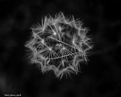 Up Close With the Dandelion (that_damn_duck) Tags: blackandwhite monochrome dandelion flower nature nighttime bw blackwhite