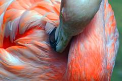 Flamingo (ingrid eulenfan) Tags: zoo hannover tier vogel animal bird flamingo federn