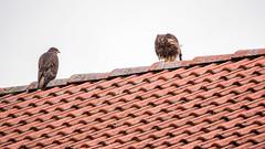 Mäusebussarde auf dem Dach 05 (p.schmal) Tags: panasonicgx80 hamburg farmsenberne mäusebussard