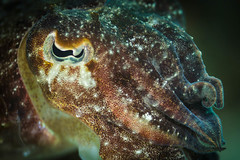 Juvenile Australian Giant Cuttlefish (Sepia apama) || Kurnell (David Marriott - Sydney) Tags: sydney botany bay national park nsw new south wales australia cuttlefish giant juvenile eye underwater scuba diving sea ocean macro 100mm ikelite kamay