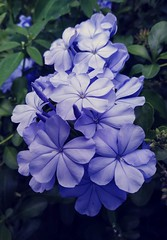 Shaded plumbago (fedglass fauxtostream / clicheographs exposed) Tags: plumbago phone