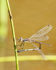Leste disjoint pondant / Egg laying Northern Spreadwing (alain.maire) Tags: odonata odonate damselfly demoiselle lestidae nature quebec canada spreadwing lestesdisjunctus lestedisjoint northernspreadwing