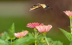 Eastern Tiger Swallowtail (BirdFancier01) Tags: nature insect butterfly garden zinnia flower wings pink shallowdof swallowtail