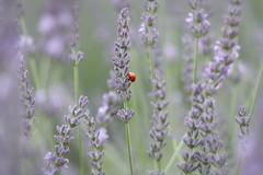 Simply red (madeleine_nik) Tags: terrebleu lavenderfarm lavender purple ladybug ontario outdoors shallowdof