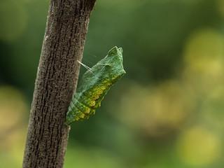 pop van koninginnenpage - chrysalis of swallowtail