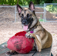 20170718_HARLEY DAVIDSON and FRIENDS_BFF_6756-Edit.jpg (Bonnie Forman-Franco) Tags: dogs dogparks dogswithball outdoors dogpark animals pets animalphotography animalphotographer photoladybon bonnie playtime