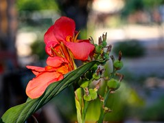 New And Old ... Canna & Seeds DoF Effect... (Chic Bee) Tags: deathandtransfiguration transformations transitions young new old oldage aging memories joy joyous happiness happy sad depression depressed elated elation fun sadness bothsides garden flowers seeds birth death love life