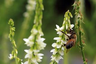 Honigbiene auf Honigklee