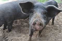 Curious pig trying to find out it the humans have some food ^^ (laurahilhorst) Tags: pig curious animal nature eyes ears nose black farmanimal animals hairs snout vegan