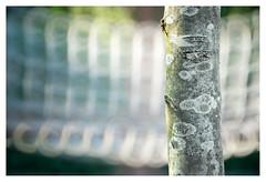Bark (leo.roos) Tags: tree boom bast bark lichen korstmos donuts july2017gatheringdustchallenge dyxum a7rii sonyaf8500reflex mirrorlens catdiotropic reflective spiegellens laea3adapter manualfocus amount darosa leoroos