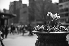 Spring in the Square (davebias) Tags: 35mm film filmferrania p30 blackandwhite nyc unionsquare flowers