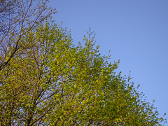 P4180829 (Paul Henegan) Tags: blue branches earlymorninglight green sky spring trees