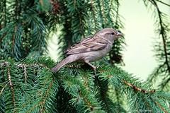 House Sparrow, Female (Anne Ahearne) Tags: bird birds nature wildlife animal animals sparrow spruce tree