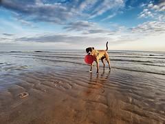 At the Beach with Sam (Marc Gommans) Tags: sam samsungs7edge wideangle lenscase snapseed animal sea noordzee cadzandbad bitch
