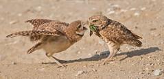 Beetle burger, my favorite. (knobby6) Tags: burrowingowl japaneesebeetle bird nikon owl california june bug