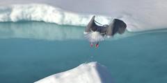 Takeoff. (mariya_ka) Tags: polarseagull svalbard seagull nature nikond600 northern arctic ocean ice travels nikkor70300 birds water ngc