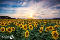 Sunflower (Nico Kehder) Tags: luminanz flower landscape sonnenblume nature natur field feld landschaft sky himmel sunset outside outdoor sunflower peace