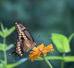 The Giant (glenda.suebee) Tags: select swallowtail butterflies yellow black ohio summer 2017 glendaborchelt wings zinnia explore