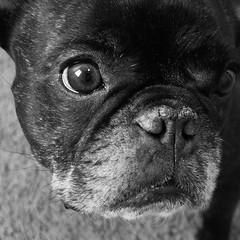 Mug Shot (Lainey1) Tags: face mugshot eyes closeup oz ozzy dog frenchie bulldog lainey1 elainedudzinski frogdog zendog frenchbulldog ozzythefrenchie leica leicadlux4 bw monochrome