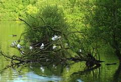 Black-Headed-Gulls sitting in a tree. (jdathebowler Thanks for 1.20 Million + views.) Tags: blackheadedgulls seabirds seagulls nature goldenacreparklake bramhope leeds west yorkshire bestcapturesaoi elitegalleryaoi aoi