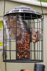 Squirrel proof my a... (Aquila Hartley-Heys) Tags: squirrel bird feeder