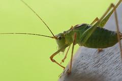 Heuschrecke   Grasshopper (MLopht   Dortmund) Tags: 2010 heuschrecke insekt makro makrofotografie tier grün macro canon eos 30d canoneos30d sigma 105mm tisch holz