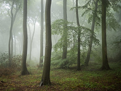 Between Us (Damian_Ward) Tags: ©damianward damianward beech trees chilterns chilternhills thechilterns fog mist oxfordshire wood forest woodland