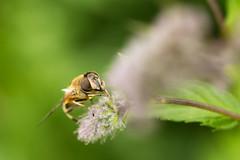 Hoverfly (Sebo23) Tags: makro makrofotografie macro naturaufnahme natur nature insect insekt hoverfly canon10028l canon6d bokelisious bokeh