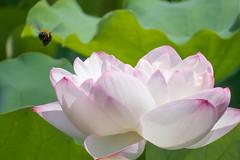 Lotus (tokinotamao) Tags: 02花・草木 ハス 京都府 長岡京市 長岡天満宮 日本 jp lotus nelumbonucifera