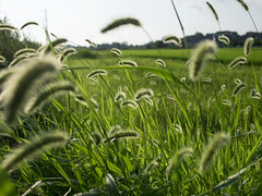 Foxtails (odeleapple) Tags: olympus e5 zuiko digital 1122mm zd foxtail field paddy