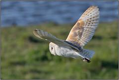 Barn Owl (image 2 of 2) (Full Moon Images) Tags: wicken fen nt national trust wildlife nature reserve cambridgeshire bird prey birdofprey flight flying barn owl
