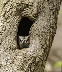 President of the Home Owner's Association (PrettyCranium) Tags: bird birds animal animals nature wildlife canada eastern screech owl owls