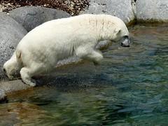aaand... jump (BrigitteE1) Tags: aaandjump eisbär ijsbeer polarbear ursusmaritimus jump fun water blue white specanimal