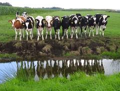 In de Zeevang (Ger Veuger) Tags: landschap landscape koeien cows debeemster polder reflectie reflection noordholland noordhollandslandschap dutchlandscape