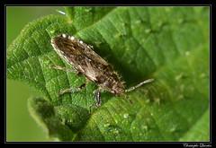 Heterogaster urtica