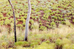 light and spinifex (Louise Denton) Tags: green nature outdoors explore australia kimberley topend wa nt spinifex grass gumtree eucalypt