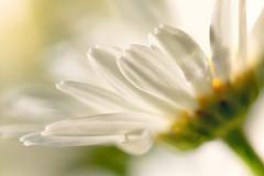 Daisy (mclcbooks) Tags: flower flowers floral macro closeup daisy daisies denverbotanicgardens colorado summer water drops droplets