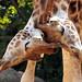 giraffe amersfoort BB2A4844
