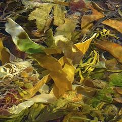 (Edinburgh Nette ...) Tags: northeast northsea kelp marine algae sea water abstracts shallow rockpools submerged light july17
