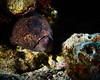Amelia (ferlopez) Tags: underwater underwaterphotography marinelife fish eel morayeel gymnothoraxflavimarginatus yellowmarginmoray molokini mauihawaii usa
