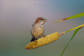 Sind Sparrow Doing Breakfast Early Morning  with sunrise
