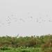 Weyn's Weavers (Ploceus weynsi) over Mabamba Swamp
