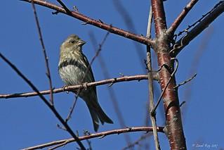 1.30679 Roselin pourpré (immature) / Carpodacus purpureus purpureus / Purple Finch