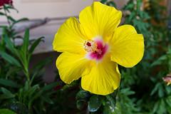 Hibiscus (svubetcha) Tags: landscape flowers arizona sunset bridge hourse mission gas utah