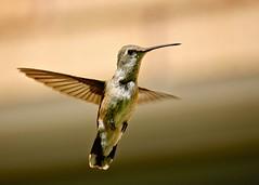 Hey, It's A Summer Hummer .... as in - summer here quite often .... and summer are not. (Parowan496) Tags: hummer hummingbird birding birdwatching summer