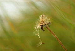 windy days (srepton) Tags: grass dandelion clock flower nature windy macro