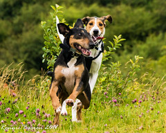 we're back! (RCB4J) Tags: ayrshire rcb4j ronniebarron scotland sonydt1870f3556 sonyilca77m2 dobermanterrier dogs irvinevalley photography play playing siameselurcher trailhound trailie
