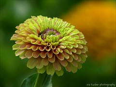 There are only two things a child will share willingly.... (itucker, thanks for 3.3+ million views!) Tags: zinnia macro bokeh hbw dukegardens