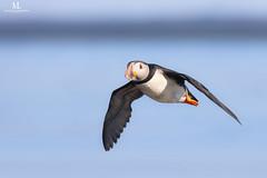 Atlantic puffin - Macareux moine - Fratercula arctica (Maxime Legare-Vezina) Tags: